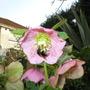 Bee visiting Helleborus (Helleborus)