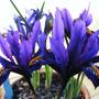Iris hyrcana