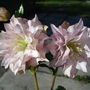 A garden flower photo (Helleborus double spotted)