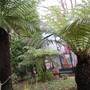 Tree ferns (Dicksonia antarctica (Soft tree fern))