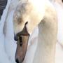 swan_2.jpg