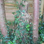 Willow man covered in ivy