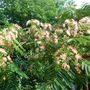 A garden flower photo (Albizia julibrissin)
