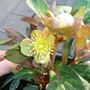 A garden flower photo (Helleborus lividus)