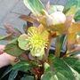 A garden flower photo (Helleborus lividus)