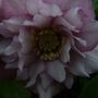 A garden flower photo (helleborus double)