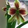 Amaryllis papilio (Hippeastrum papilio (Butterfly amaryllis))