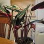 A garden flower photo (stromanthe sanguinea)