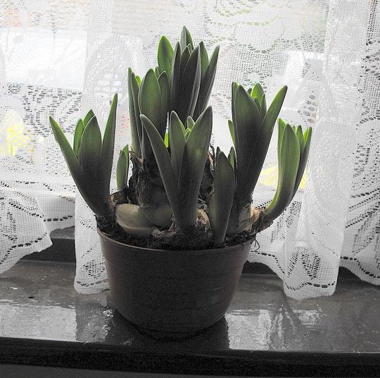 """Hyacinths """"Multiflora White"""