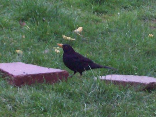 Male Black Bird....