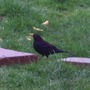 Male Black Bird....