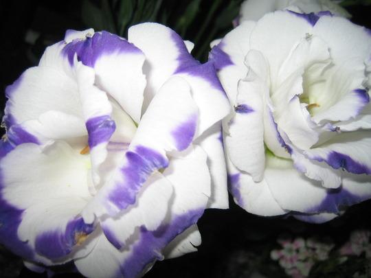 Rose-like Flowers