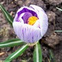 Crocus vernus 'pickwick' (Crocus vernus (Dutch crocus))