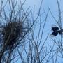 Magpie_nest_3