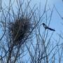 Magpie_nest_2