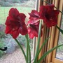 Amaryllis full out.
