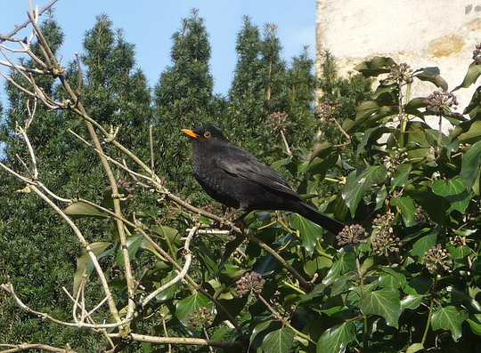 Blackbird enjoying the sun .