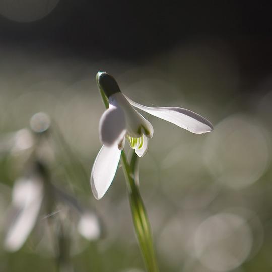 Snowdrop (Galanthus elwesii (Snowdrop))
