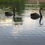 The two black swans in the pond