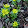 Winter_aconite_flower_detail