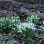 Group_of_shy_snowdrops