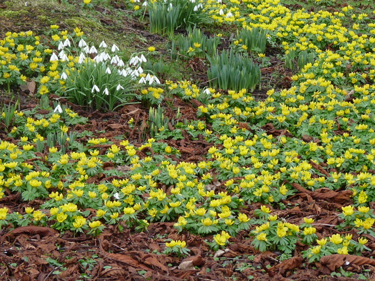 Winter Aconites and Snowdrops (Aconites and Snowdrops)