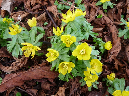 Winter Aconites (Eranthis hyemalis (Winter aconite))