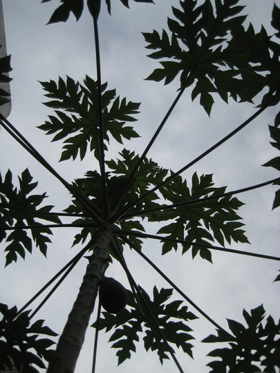 Foliage of Papaya