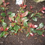 Red Robin (photinia)