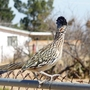 Roadrunner_on_fence