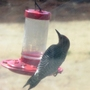 Woodpecker_at_hummingbird_feeder