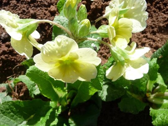 Yellow Primrose (Primula algida)