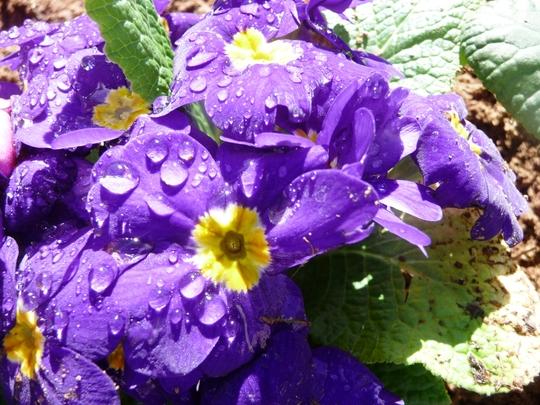 Purple Primrose (Primula algida)