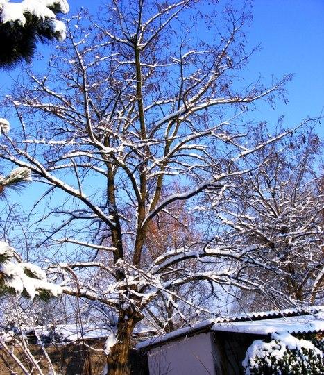 Snow on false Acacia tree (Robinia pseudoacacia (False acacia))