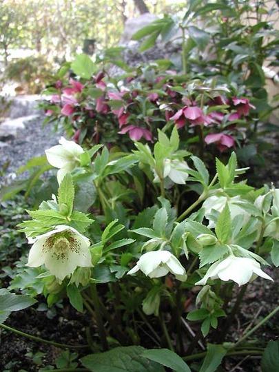 Christmas rose (Helleborus orientalis)