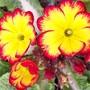 Pretty prims... (Primula)