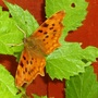 2006_nature_comma_on_hop