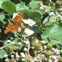 By popular request (Polygonia c-album)