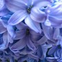 Hyacinths (Hyacinthus orientalis)