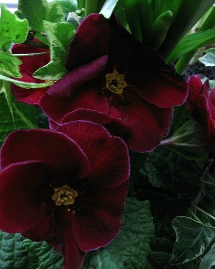 Primrose Deep Red (Primula)