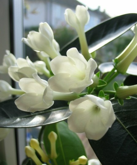 Stephanotis (Stephanotis floribunda)