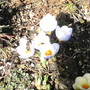 Buzzing About In The Crocus