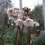Bergenia emeinsis (Bergenia emeiensis)