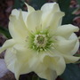 Double_yellow_hellebore