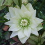 Double_white_hellebore