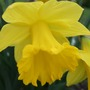 A King Alfred Daffodil
