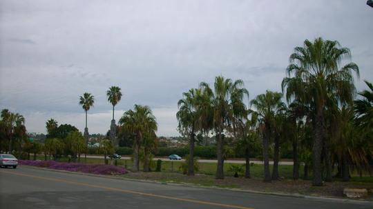 Livistona decipiens - Ribbon Fan Palm (Livistona decipiens - Ribbon Fan Palm)