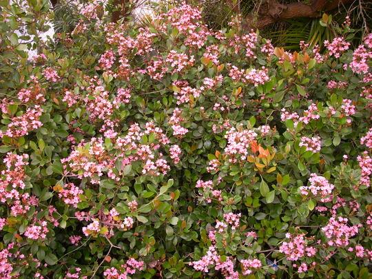 Raphiolepis indica - India Hawthorne (Raphiolepis indica - India Hawthorne)