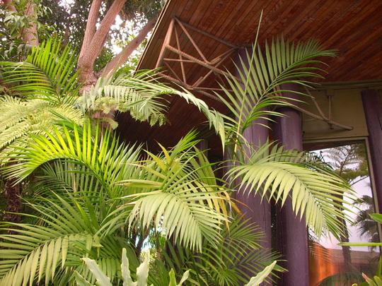 Chamaedorea costaricana - Costa Rican Bamboo Palm