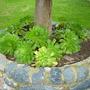 Aeonium canariensis - Aeonium (Aeonium canariensis - Aeonium)